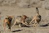 Black Backed Jackals Playing - Etosha Namibia (Ami 211) Tags: africa jackal canine namibia etosha canis canismesomelas blackbackedjackal africanwildlife canidae animalsinteracting