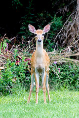 Untitled (gauravs82) Tags: baby innocent young deer fawn freeze stare whitetail