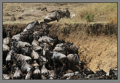 The escape from hell! (Rainbirder) Tags: kenya maasaimara bluewildebeest connochaetustaurinus rainbirder
