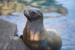 California sea lion (caz76KOBE) Tags: park animal canon eos zoo kobe dslr  hyogo  6d  ef70200mmf28l eflens  eos6d canonprimelens   ef70200mmf28lisiiusm canonef70200mmf28lisiiusm ojizoopark