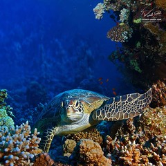 Red sea diving big sea turtle sitting between corals (occipitalcortex) Tags: ocean life travel blue red sea wild sun fish color green beach sports nature water beautiful beauty animal coral closeup swimming outdoors one hawaii big marine colorful underwater natural turtle background wildlife indian extreme bottom dive egypt scuba snorkeling exotic tropical caribbean diver aquatic reef maldives undersea