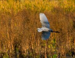 Egret flyby-3790 (RG Rutkay) Tags: morning autumn bird nature flying flight wetlands marsh egret greategrets lyndeshoresconservationarea