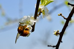 Mamangava polinizadora 003 (Parchen) Tags: flores flor abelha inseto bombus mamangaba polinização mamangava polinizadora polinizando besouromangangá vespaderodeio marimbondomanganga parchen carlosparchen abelhaderodeio
