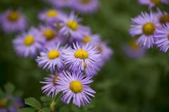 Soft Purple (lilcapn) Tags: flowers wild macro utah sony 100mm f28 fishlake a850