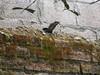 Garroba (marvin3nrike) Tags: fauna iguana reptil doméstico garrobo garroba