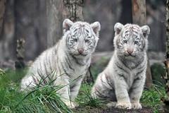 Tigreaux blancs (Anna Photographie - Animalire) Tags: zoo tiger tigre amnville tigreblanc tigreauxblancs