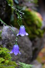 Campanule di Bosco (KriS.M8) Tags: flowers drops violet fiori bosco gocce campanule nikond5100