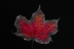 Rappel - 6 (Spock2029) Tags: autumn color fall leave automne leaf couleur vegetal feuille vgtal