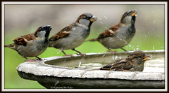 3 male sparrows watching a female sparrow take a bath (Kaptured by Kala) Tags: bird fall nature water birds drops birdbath humor sparrow bathing splash sparrows kala femalehousesparrow malehousesparrow kalaking kapturedbykala