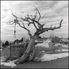 Hanging Tree (harrysnowden) Tags: city white black west tree film monochrome cemetery photography virginia nevada harry western hanging medium format snowden noose 120mm