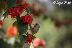 Cute Birdie! (Arpa Ghosh) Tags: cute bird nature birds gardens birdie botanical flora hyderabad