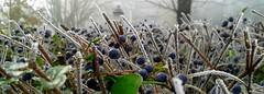 Winter melody (Aellev) Tags: winter ice pillar foggy donnasummer inverno bacche blackberries ghiaccio aellevvetrine adrianaellev adrianalv