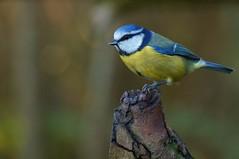 Blue Tit... (Warwick Wolf) Tags: remotecontrol bluetit warwickshirewildlifetrust tamron70300mmf456divcusd sonya57