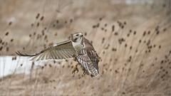 Red-tailed Hawk Lift Off (Raymond J Barlow) Tags: travel ontario canada hawk wildlife redtailed workshops birdinflight raymondbarlowphototours