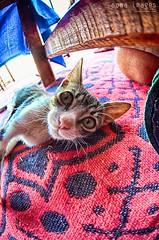 Under the table predator (Soma Images) Tags: travel portrait cats jason macro cute green closeup cat photography fuzzy lol kitty images fisheye morocco maroc kitties friendly soma marokko moroccan lolcat somaimages somaimagescom