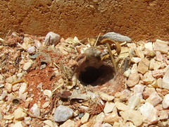 Araneae Ground spider burrow DSCF7040 (Bill & Mark Bell) Tags: exmouth westernaustralia australia geo:town=exmouth geo:state=westernaustralia geo:country=australia geo:lon=11425453egeolat2217752sgeoalt8m 11425453e2217752salt8m taxonomy:kingdom=animalia animalia taxonomy:phylum=arthropoda arthropoda taxonomy:class=arachnida arachnida taxonomy:order=araneae araneae taxonomycommonnamegroundspiderburrow groundspiderburrow spider