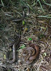 Adders & Slow Worms cropped