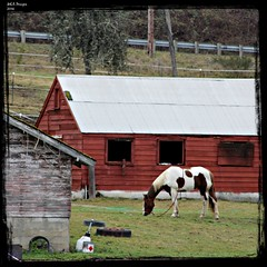 persistence and determination... (MEA Images) Tags: ranch horses canon washington barns farms washingtonstate graham pinto picmonkey:app=editor