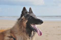 Caline (michel lherm) Tags: caline tervueren chien dog perro bergerbelge animals animaux animalia mammifères mammalia animaldecompagnie cane animal hund 狗 france pet