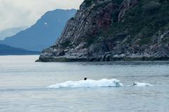 _MG_4518a (markbyzewski) Tags: bird alaska ugly iceberg glacierbaynationalpark
