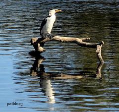 Cormorants and shags are medium-to-large seabirds seen in Little Lake Warilla (pat.bluey) Tags: birds reflections australia newsouthwales cormorant 1001nights shag littlelake warilla flickraward 1001nightsmagiccity hganimalsonly hg~sb hennysanimals sunrays5