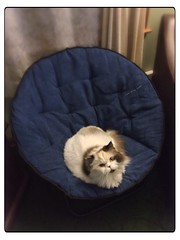(rbatina) Tags: pictures hairy white cat persian chair phone random shots misc kitty fluffy 25 25th february circular folding papasan iphone 2014 5s rubbertoe uploaded:by=flickrmobile flickriosapp:filter=nofilter