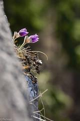 hanging in the wall (Tschissl) Tags: flowers austria sterreich pflanzen blumen location steiermark pulsatilla leoben hinterberg