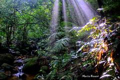 Feixes de Luz na Floresta da Tijuca - Rio de Janeiro (mariohowat) Tags: riodejaneiro natureza florestadatijuca feixedeluz feixesdeluz mygearandme mygearandmepremium mygearandmebronze mygearandmesilver
