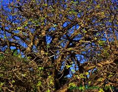 busy baobab (notnA) Tags: tree queenspark barbados baobab baobabtree adansonia