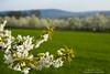 Cherry blossom at Walberla N°1 (Bernhard_Thum) Tags: nature spring blossom bloom cherryblossom franken blüte bernhard springtime frühling carlzeiss frankenjura kirschblüte frühjahr zf walberla alemdagqualityonlyclub makroplanar250 nikond800e bernhardthum