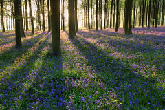 Bluebell Wood (Alan MacKenzie) Tags: trees sunset england bluebells forest woodland spring shadows rays beech