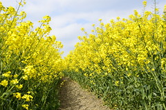 Rapeseed Path (stu dag) Tags: uk summer england english field yellow landscape sunny lancashire picturesque wigan rapeseed billinge