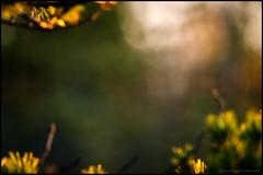 Morgonljus (Jonas Thomn) Tags: morning light pine forest bokeh skog tall morgon ljus morrn