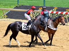 2014-05-08 (11) r3 J. D. Acosta on #2 Litigious (JLeeFleenor) Tags: horses caballo cheval photography md photos uma maryland cal jockey jinete cavallo cavalo pferd equestrian kuda alogo equine pimlico hest thoroughbreds soos hevonen cuddy paard cavall kon koin  jokey fantino hst ceffyl  jquei  ko faras hestur  perd ngi  konj    capall beygir yarraman dokej rennreiter  pfeerd marylandhorseracing marylandracing   okej kilparatsastaja jocheu