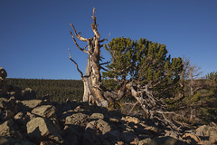 Enduring (Explored) (Jeff Mitton) Tags: mountains colorado wilderness screeslope ancienttree limberpine talusslope earthnaturelife ancientlimberpinegrove wondersofnature}