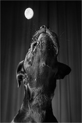 Dog Moon (Tomas.Kral) Tags: lighting light blackandwhite bw dog moon monochrome studio mono blackwhite labrador catching treat connie moment strobe onelight speedlite doglife strobist yn560ii