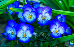 Spring Pansies (jlucierphoto) Tags: flowers pansey panseys spring grow new england colorful blue aqua green americas hometown plymouth mass lovelyflickr bright