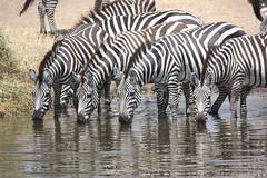 Zebra Drinking Hole