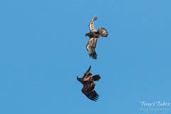 Juvenile Bald Eagle mid-air play sequence - 4 of 7