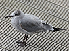 Laughing Gull  ( Leucophaeus atricilla )  1st Winter (ColGould) Tags: gull wallasey wirral newbrighton merseyside laughinggull