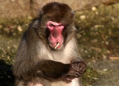 Smoke Monkey (Ger Bosma) Tags: snowmonkey japanesemacaque macacafuscata japansemakaak japanmakak schneeaffe macaquejaponais rotgesichtsmakake macacojapons macacodecararoja img120104
