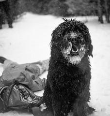 Monty!!!!! (BunnySafari) Tags: trees winter bw snow film forest guelph january ilford fp4 monty yashicamat pushprocessed 2015 bunnysafari bouvierx developedfor10minutesintmax