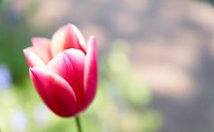 pink with bokeh (Explore #370) (CB-Photos) Tags: flowers focus bokeh sony blmchen muttertag beyondbokeh a77m2