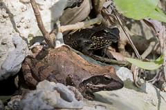 2 rane (Eugenio_81) Tags: portrait macro eye nature animal animals italia wildlife sigma amphibian natura frog frogs rana ritratto animale italica 105mm anura amphibia anfibio anfibi allaperto focusstacking cervaro anuro ranaitalica anuri