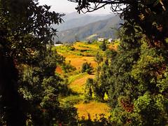 Through the trees.... (Lopamudra!) Tags: india nature beauty trek landscape uttaranchal himalaya pastoral himalayas hamlet cultivation lopa kumaon lopamudra uttarakhand kumaun lohajung uttarkhand lopamudrabarman lohajang brahmataltrek