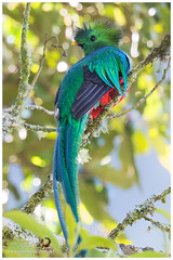 Resplendent Quetzal / Quetzal Resplandeciente  -  (Panama Birds & Wildlife Photos) Tags: bird birds aves panama quetzal trogon chiriqui quetzals neotropicalbirds trogn trogons panamabirds panamawildlife birdsofpanama avesdepanama trogones neotropicalbird