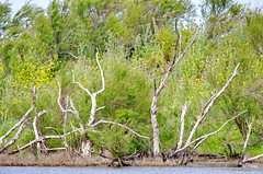 le de R 124 - des arbres morts dans la Rserve Naturelle de Lilleau des Niges (paspog) Tags: france island insel r le deadtrees leder rservenaturelle arbresmorts rservenaturelledelilleaudesniges