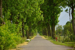 spring in the countryside (JoannaRB2009) Tags: spring countryside alley avenue trees road path nature green dzkie lodzkie polska poland landscape view