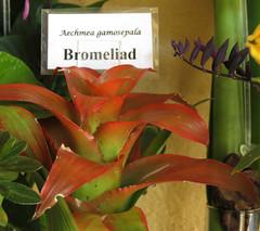 Aechmea gamosepala Bromeliad