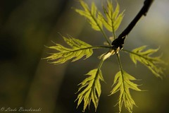 IMG_9193 (lindabonskowski) Tags: leaves backlight spring maple
